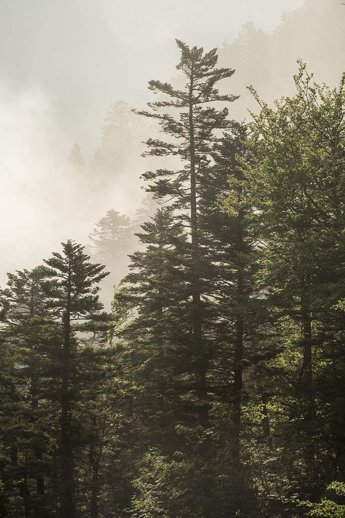 Bosque de Marcadau